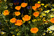 Californian poppy, Eschscholzia californica, bright orange flowers among annuals in meadow. UK.
