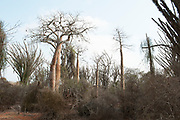Baobab trees, Adansonia sp, and Sogno Didierea in spiny forest Reniala Nature Reserve, Ifaty, Madagascar