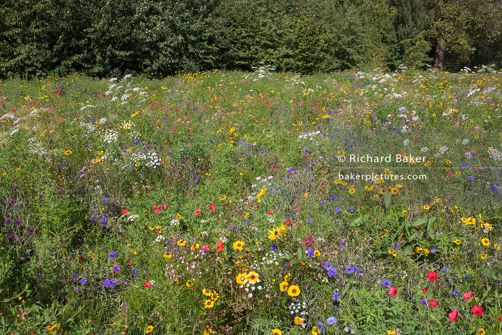 Wild sown flowers in a special meadow in Dulwich Park, south London.