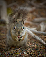 Squirrel with Nut. Rocky Mountain National Park in Colorado. Image taken with a Nikon D2xs camera and 70-200 mm f/2.8 VR lens + TCE 14 II teleconverter  (ISO 400, 280 mm, f/4, 1/125 sec).