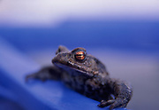 AE2BWC Common frog leaning on the side of a blue bowl