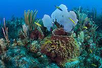 Healthy Soft Corals, Barrel Sponge, and Wrasses..Shot in British Virgin Islands