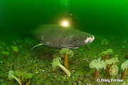 Greenland sleeper shark, Somniosus microcephalus, and diver swim among plumose or frilled anemones, Metridium senile, St. Lawrence River estuary, Canada (this shark was wild & unrestrained; it was not hooked and tail-roped as in most or all photos from the Arctic) MR 374