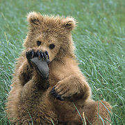 Alaskan Brown Bear (Ursus middendorffi) cub sitting on its rump and playing with its foot. Katmai National Park, Alaska