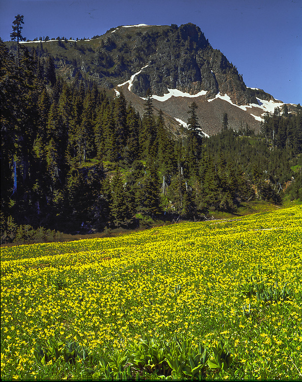 Alpine meadow of glacier lilies, near Park Lakes, July, Alpine Lakes Wilderness, Cascade Mountains, Washinton, USA