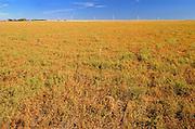 Lentils. Green<br /> Rosenhof<br /> Saskatchewan<br /> Canada