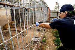 March 30, 2017 - Mosul, Nineveh Province, Iraq - Romanian Veterinarian OVIDIU ROSU shoots a tranquilizer dart at SIMBA, a 3 year old male African Lion at the Mosul Zoo. A lion and a bear, just rescued from Mosul's zoo, are prepared to fly to safety outside Iraq and into Erbil, Kurdistan. The two animals nearly starved to death in their cages while battle raged around them in the Iraqi city earlier this year. Several other animals at the zoo died from neglect but these two were finally rescued by the animal charity Four Paws. (Credit Image: © Gabriel Romero via ZUMA Wire)