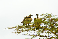 White-backed vultures, Serengeti National Park, Tanzania