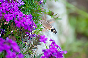Hummingbird hawk-moth (Macroglossum stellatarum) feeding on nectar. Photographed in St. Moritz, Switzerland in September