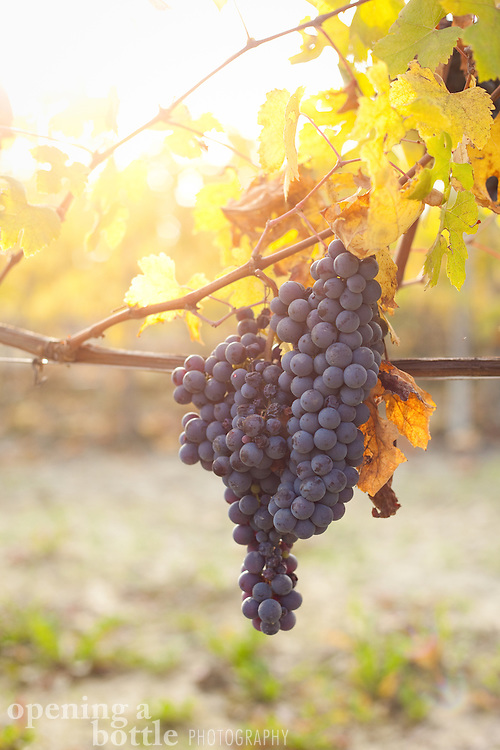 A cluster of nebbiolo grapes — the grape variety used to make Barolo and Barbaresco wine — hang from a vine during harvest season near La Morra (Piedmont), Italy.