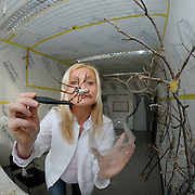 A female Golden Silk Orbweaver (Nephila clavipes) is fed by Professor Dr. Christine Radtke. | Eine weibliche Goldene Radnetzspinne (Nephila clavipes) wird von Professorin Dr. Christine Radtke gefüttert.