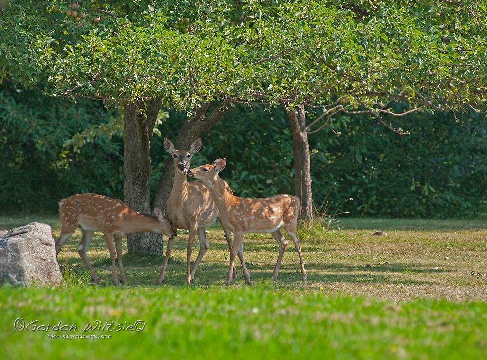 A White-tailed doe and her two fawns graze below an apple tree i a back yard near Bozeman, Montana.