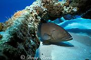 red grouper, Epinephelus morio, <br /> hiding under piece of wreckage from shipwreck, <br /> Little Bahama Bank,<br /> Bahamas ( Western Atlantic Ocean )