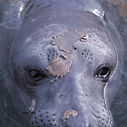 Northern Elephant Seal, (Mirounga angustirostris) Female in molt. Baja, Mexico