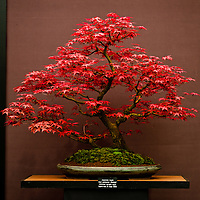 LONDON, UK - 21 May 2012: japanese maple tree at the RHS Chelsea Flower Show 2012.