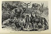 Viz: Tora Antelope, Blessbok [blesbok], Bontebok and Korigum From the book ' Royal Natural History ' Volume 2 Edited by Richard Lydekker, Published in London by Frederick Warne & Co in 1893-1894