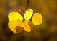 In this aspen leaf close-up, shooting wide open at f/2.8 gives a clean background that doesn't distract from the subject.