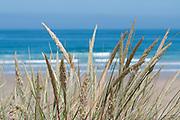 Perranporth dune grass