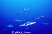 blacktip reef sharks, Carcharhinus melanopterus, Moorea, French Polynesia ( South Pacific )