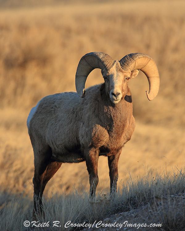 Rocky Mountain Bighorn Sheep in Habitat