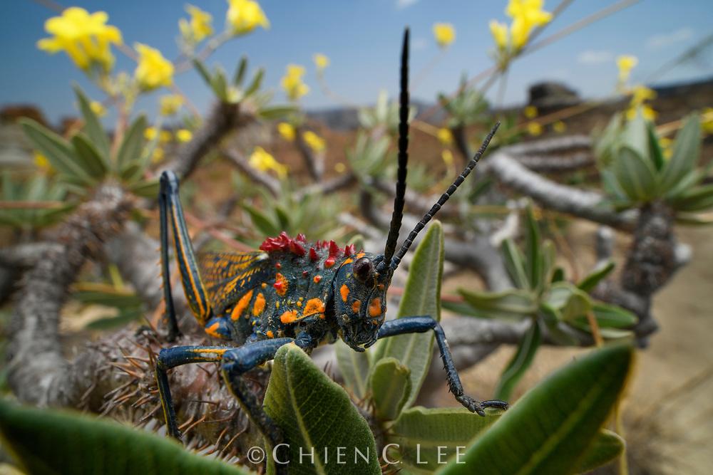 Rainbow Milkweed Locust, (Phymateus saxosus) on Elephant's Foot Plant (Pachypodium rosulatum). Isalo National Park, Madagascar.