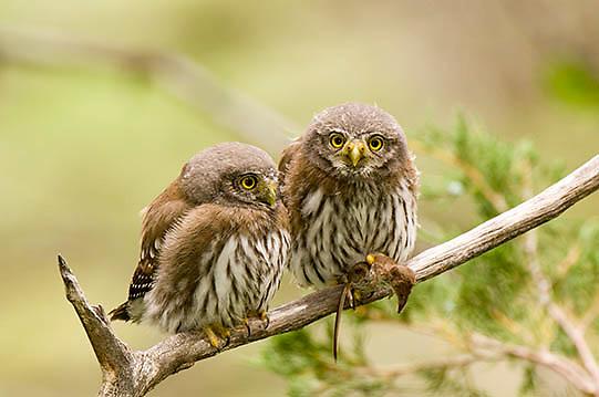 Northern Pygmy Owl ( Glaucidium gnoma)  Fledgling feeding. Montana.