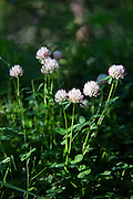 Alpine wildflowers, Alpine Clover, Trifolium dasyphyllum,  in the Swiss Alps near Zermatt, Switzerland