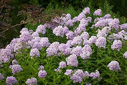 Phlox × arendsii 'Luc's Lilac' AGM