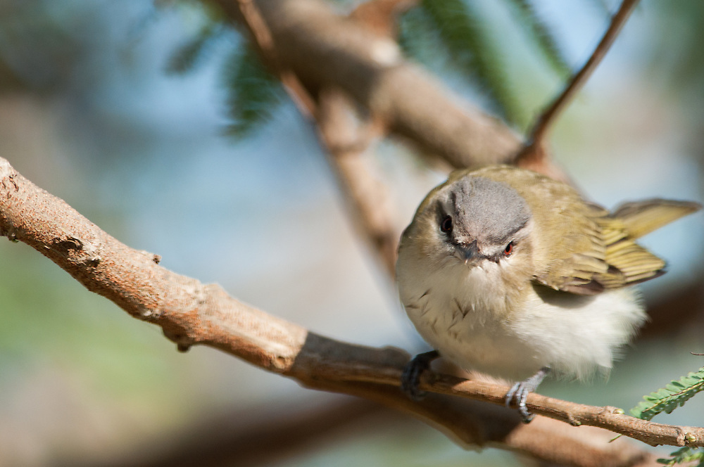 A Red-eyed Vireo (Vireo olivaceus) migrating through South Padre Island, Texas.