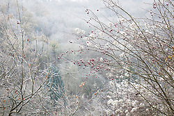 Fluffy seedheads of Old Man's Beard (Travellers Joy) with berries on a frosty winter's morning. Clematis vitalba