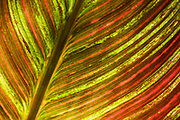 Close-up abstract of the leaf of an Indian shot plant or Canna lily (Canna indica)  showing its colourful veins growing in the Gardens of La Mortella, Ischia, Italy