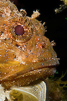 Portrait of scorpionfish (Scorpaena porcus) lying on the artificial reef, Larvotto Marine Reserve, Monaco, Mediterranean Sea<br /> Mission: Larvotto marine Reserve