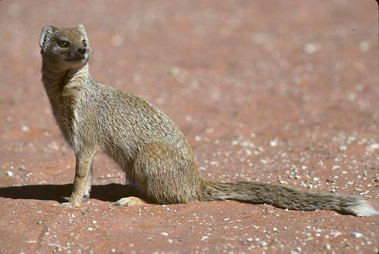 Yellow Mongoose, (Cynictis penicillata) Hunting in red sands of Kalahari Desert. Africa.