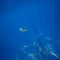 sardine run, mexico, yucatan, torutue, turttle