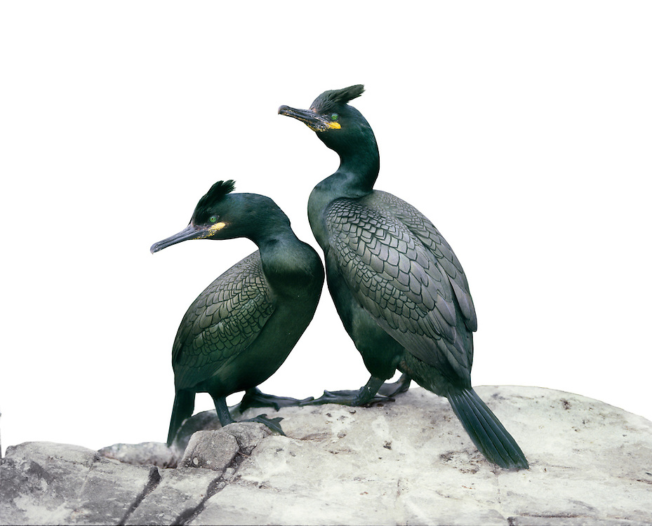 Shag - Phalacrocorax aristotelis. L 65-80cm. Smaller than Cormorant, with more slender bill. Leaps in order to submerge. Often perches with wings held outstretched. Sexes are similar. Adult is all-dark but with oily green sheen. Has yellow patch at base of bill and distinct crest. In winter, loses crest; colours at base of bill are subdued. Juvenile has dark brown upperparts and buffish underparts and pale throat. Crown peaks on forehead (peaks on rear of crown in juvenile Cormorant). Voice Silent except at nest. Status Locally common on rocky coasts. Nests colonially on sea cliffs.