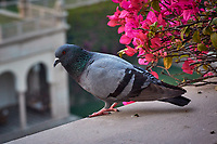 Rock Pigeon. The Oberoi Amarvilas in Agra, Uttar Pradesh, India. Image taken with a Nikon 1 V3 camera and 70-300 mm VR lens.