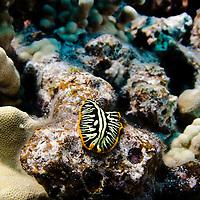 Divided Flatworm, Pseudobiceros cf. dimidiatus, Hawaii