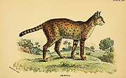 serval (Leptailurus serval Here as Felis serval) From the book ' A handbook to the carnivora : part 1 : cats, civets, and mongooses ' by Richard Lydekker, 1849-1915 Published in 1896 in London by E. Lloyd