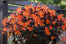 Begonia 'Glowing Embers' in a hanging basket