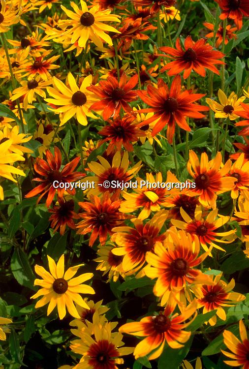 Flower bed of Gaillardias taking in the summer sun.  Minneapolis Minnesota USA