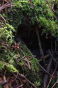 The gametophytes of green shield-moss Buxbaumia viridis on forest floor, Tīreļpurvs, Zemgale, Latvia Ⓒ Davis Ulands   davisulands.com