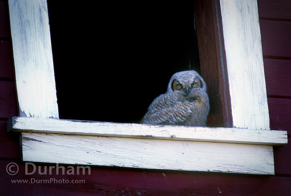 A downy great horned owl (Bubo virginianus) chick in a barn window on The Nature Conservancy's Zumwalt Prairie Preserve, Oregon.