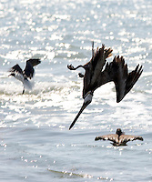 Diving pelicans at South Padre Island, Texas