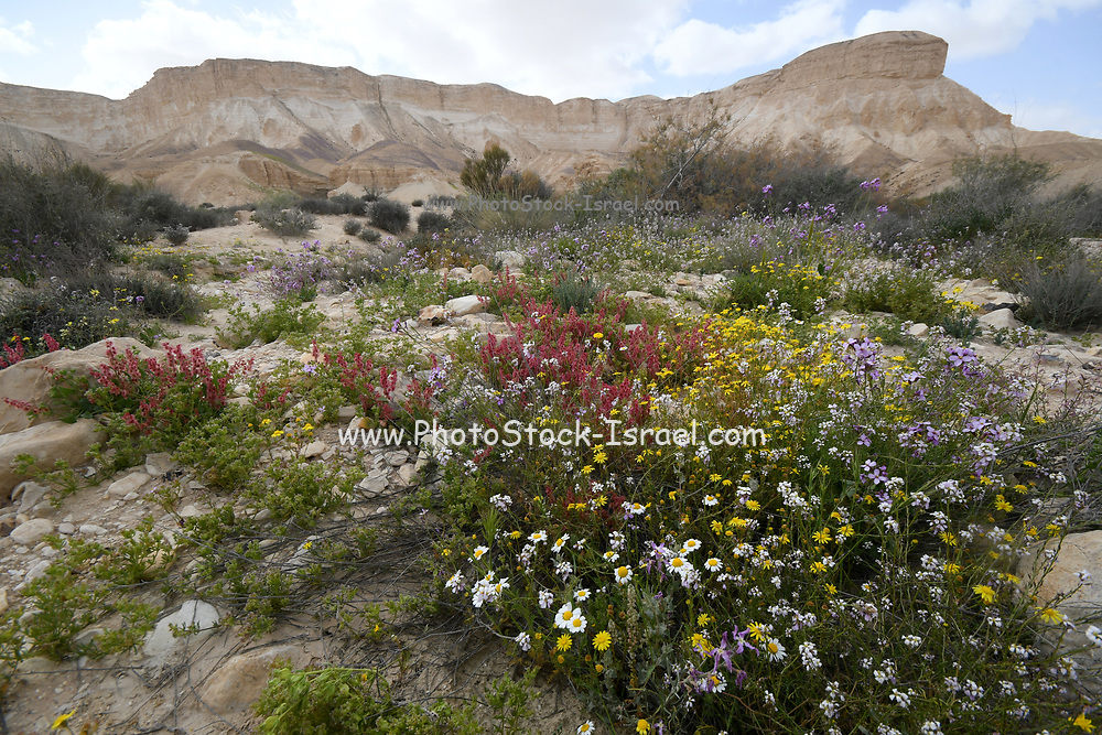 After a rare rainy season in the Negev Desert, an abundance of wildflowers sprout out and bloom. Photographed on the plain of Avdat, in the negev desert, israel near Kibbutz Sde Boker in March