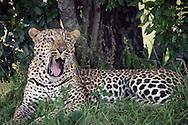 A leopard in the Masai Mara National Reserve, Kenya, Africa