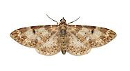 70.170 (1818)<br /> Marbled Pug - Eupithecia irriguata
