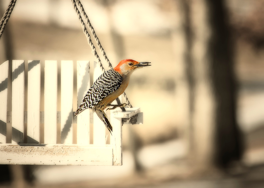 A Red-Belied Woodpecker On A White Swing Feeder.