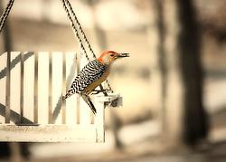 A Red-Belied Woodpecker On A White Swing Feeder.
