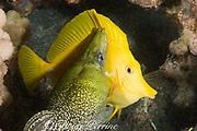 undulated moray eel or leopard moray ( Gymnothorax undulatus ) seizes sleeping yellow tang ( Zebrasoma flavescens ) while feeding at night, Keahole, Kona, Hawaii, USA ( Central Pacific Ocean )