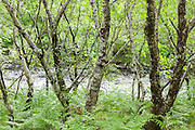 Silver Birch trees, Betula pendula, by a Highland river at Inverkirkaig in Assynt, Ross and Cromarty, in the Highlands of Western Scotland